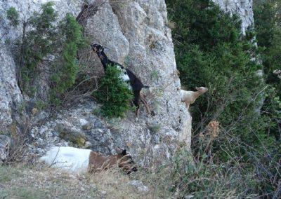 Chèvres sauvages en Ardèche